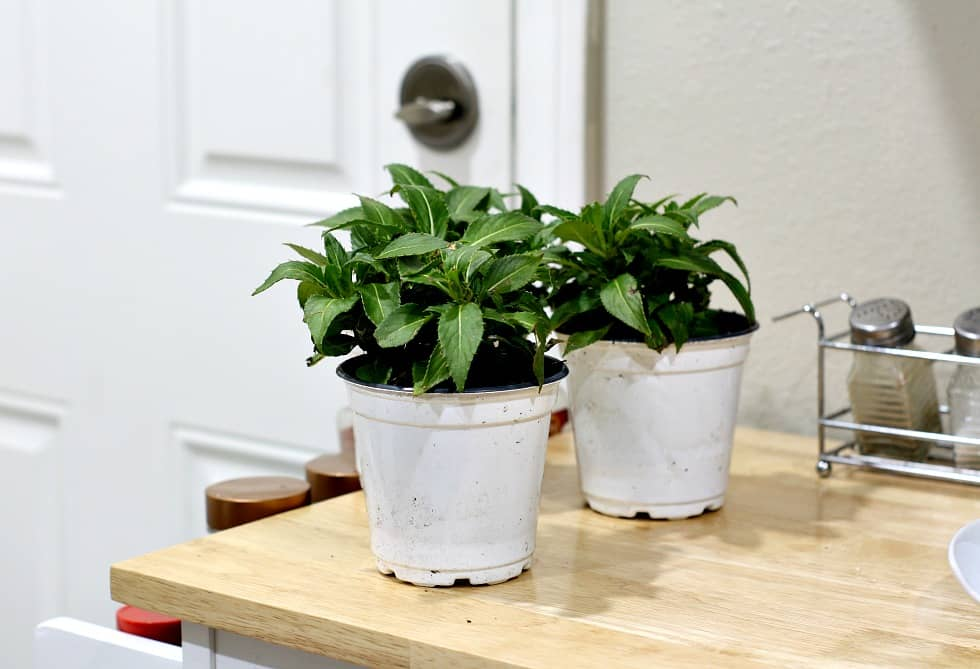 two potted plants resting on a butcher block counter