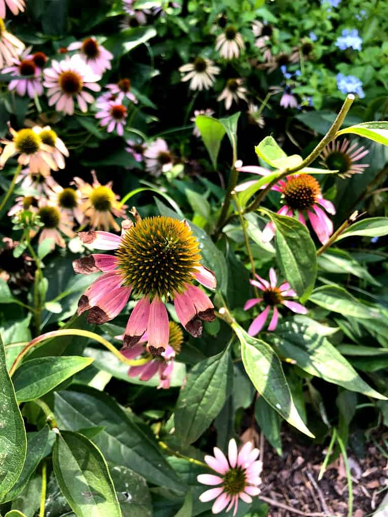 echinacea flower bed