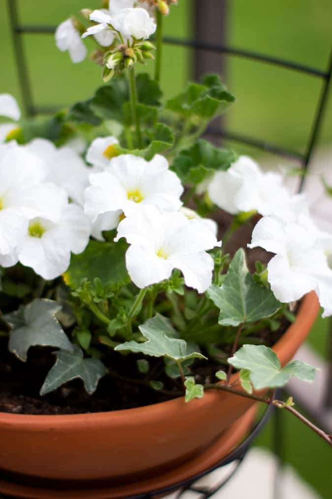 quick and easy summer apartment porch white petunias in a terracotta pot