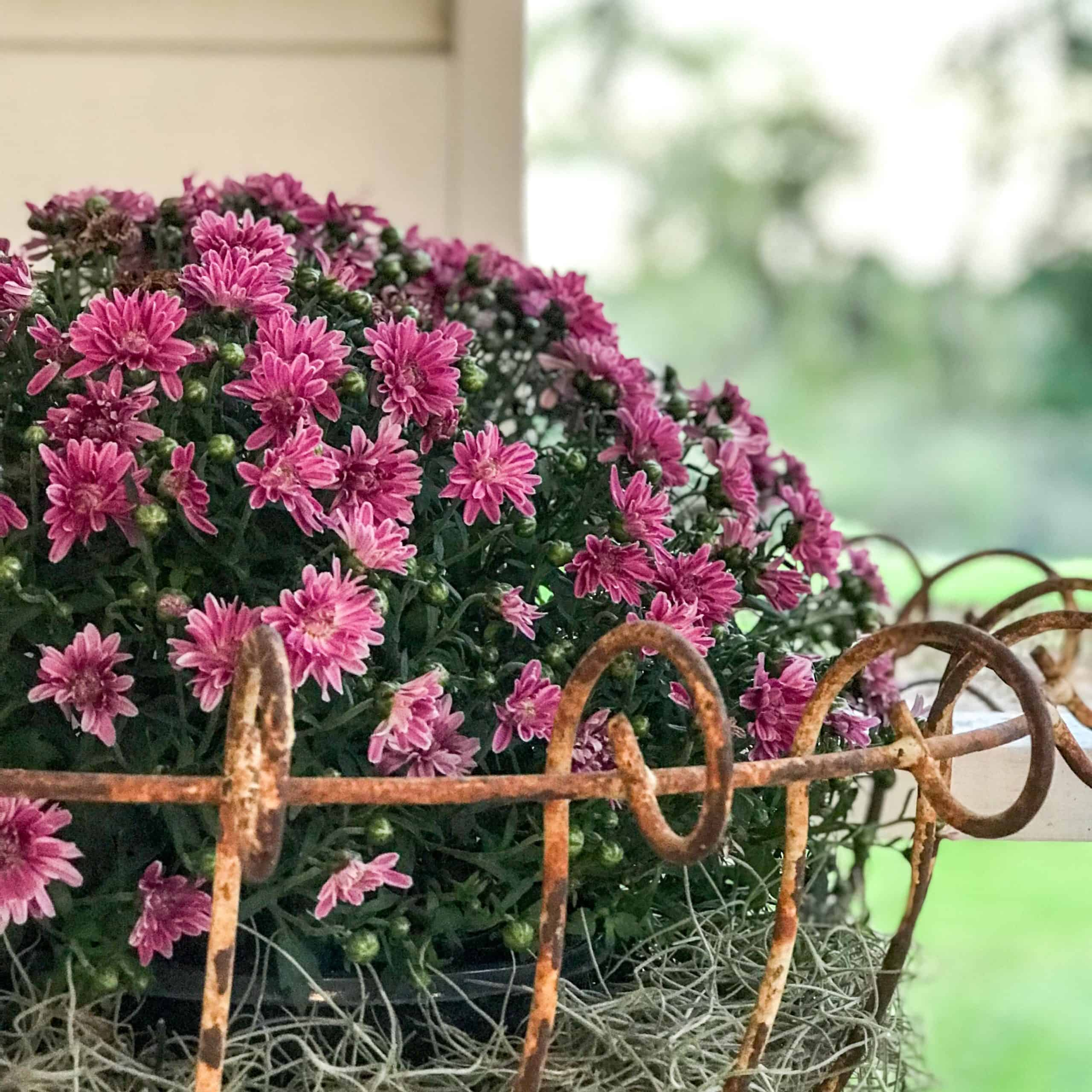 fall decorating ideas purple mums in wrought iron stand
