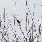 tuesday turn about 87 february fun cardinal in trees on winter day