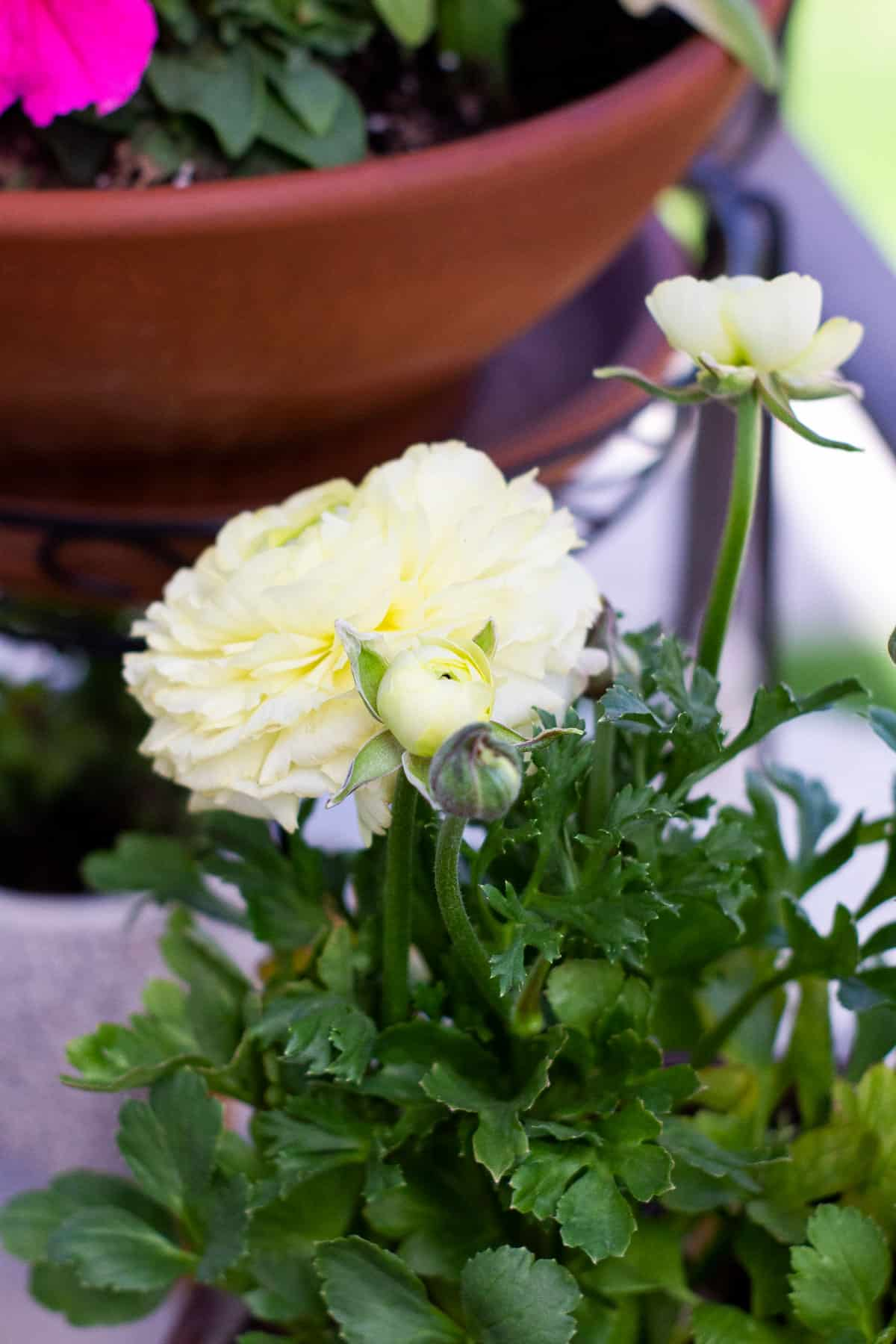 how to add spring time flowers to a tiny patio yellow ranunculus bloom and buds