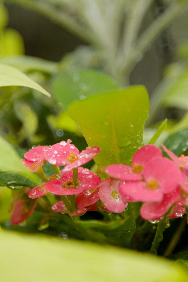 pink impatiens with greenery
